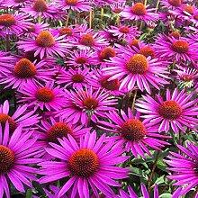 6 x Echinacea Purpurea 'Pica Bella' -
