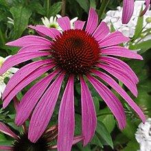6 x Echinacea Purpurea 'Rubinstern' -