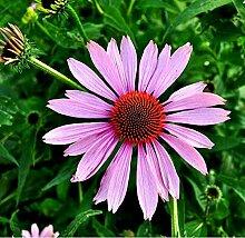 6 x Echinacea Purpurea - Zonnehoed - pot 9cm x 9cm