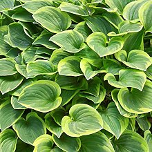 6 x Hosta 'Golden Tiara' - Funkie Golden