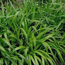 6 x Luzula Sylvatica - Waldmarbel Pflanzcontainer