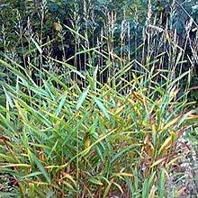 6 x Spodiopogon Sibiricus - Graubartgras