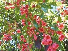 60+ Samen Bottle tree - Brachychiton Populneus -
