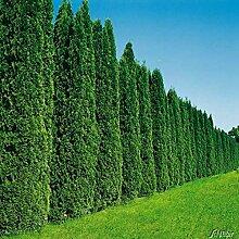 60 Stück Thuja occidentalis Smaragd für 20 Meter