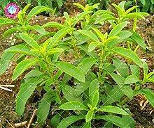 600PCS Stevia Samen Grüne Kräuter Samen Stevia