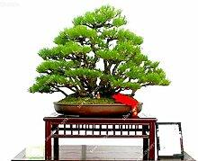 60pcs / bag Dwarf Kiefer Samen Exotische Staude Pinus Bonsai Topfgartenzierpflanze für Blumentopf Pflanz