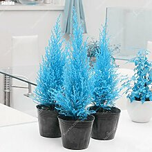 60pcs/Bag Rare blau Cypress Seed Mini Bonsai