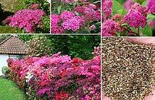 60x Amerikanischer Meadowsweet Willow Pink Pflanze Garten Blumen Mehrjährig frische Samen #360