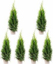 6er-Set Lebensbaum 'Smaragd' - Thuja