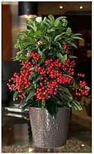 6x Ardisia macrocarpa Kübelpflanze Samen Pflanze