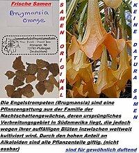 6x Brugmansia orange Frisch Original Samen Engelstrompeten Baum / Sträucher #247