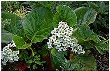 6x Frisch Bergenie Bressingham White(Bergenia)