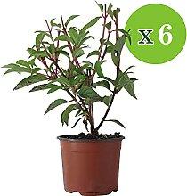 6x Hydrangea paniculata | Hortensien Pflanzen |