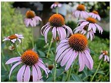 """6x Purpur-Sonnenhut """"Magnus Rosa"""" (Echinacea)"""