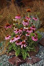 6x Roter Sonnenhut (Echinacea purpurea