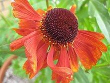 6x Sonnenbraut Moerheim Beauty Helenium Pflanzen