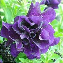 7: 100 Stücke Garten Petunia Blütenblätter