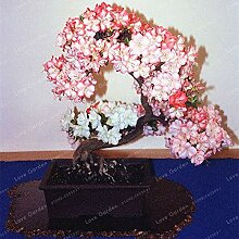 7: 100 Stücke Seltene Bonsai Azalee Samen