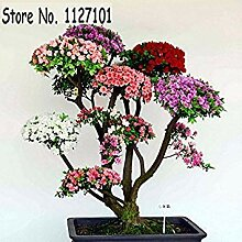 7: 100 Teile/beutel 22 arten Azalee Blumensamen