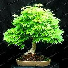 7: 20 Stücke Seltene Blau Ahorn Samen Bonsai Baum