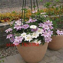 7: Clematis/Kleine Grüne Kletterpflanze Clematis