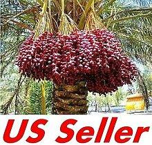 7 PCS Medjool Dattelpalme Seeds E31, Bio Bonsai