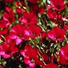 75+ scharlachrot FLAX ANNUAL Blumensamen/großes