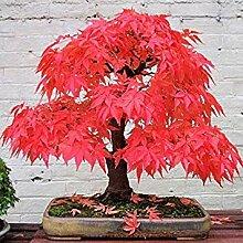 8 Arten Bonsai-Baum-Samen Seltene Maple Samen