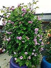 8: Rose-Blumensamen Garten Blumen Hochzeit