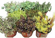 8 verschiedene Winterharte Sedum-Pflanzen -
