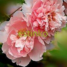 88 / bag Wacholder Bonsai-Baum Topfblumen Büro Bonsai reinigen die Luft absorbieren schädliche Gase Zierpflanze