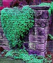 9: 100 Teile/beutel Creeping Rock Kresse Thymian