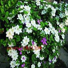 9: Clematis/Kleine Grüne Kletterpflanze Clematis