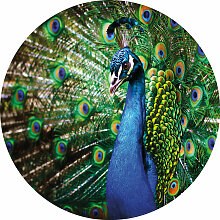 A.s.creations - DD119198 Beautiful Peacock