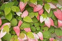 Aamish 10 Stück Actinidia Kolomikta Kiwi Pflanze