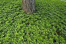 Aamish 100 Bodendecker Pflanzensamen