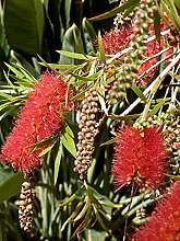 Aamish 25pcs Callistemon-Baum