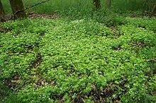 Aamish 60 Bodendecker Pflanzensamen