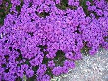 Aamish Bodendecker Blumensamen