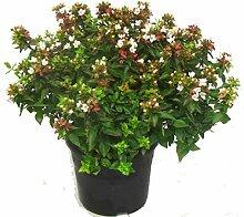 Abelia grandiflora 'Land Ladies`' Abelie -