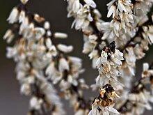 Abeliophyllum distichum – Forsythia weiß aus