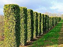 Abendländischer Lebensbaum 'Brabant' -