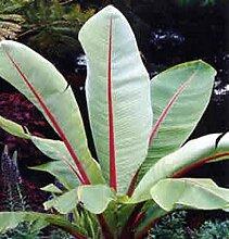 Abessinische Banane - Ensete ventricosum - 500
