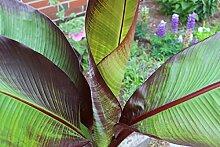 Abessinische Banane - mediterrane Kübelpflanze im