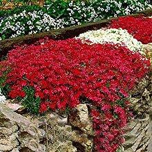 Acecoree Rock Cress Blumensamen 50 Pcs