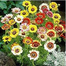 Acecoree Samen Haus- Chrysantheme Samen Blumen