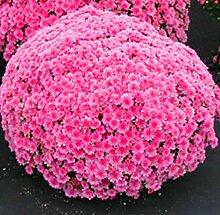 Acecoree Samen Haus- Chrysantheme Samen,Blumen