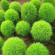 Acecoree Samen Haus- Dekoration Gras Samen,Selten
