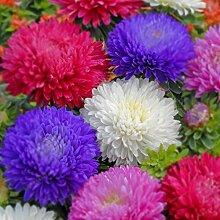 Acecoree Samenhaus- 50Stk Chrysantheme Samen,