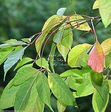 Acer Henryi Henry Maple Samen Bonsai Zone 6+ oder